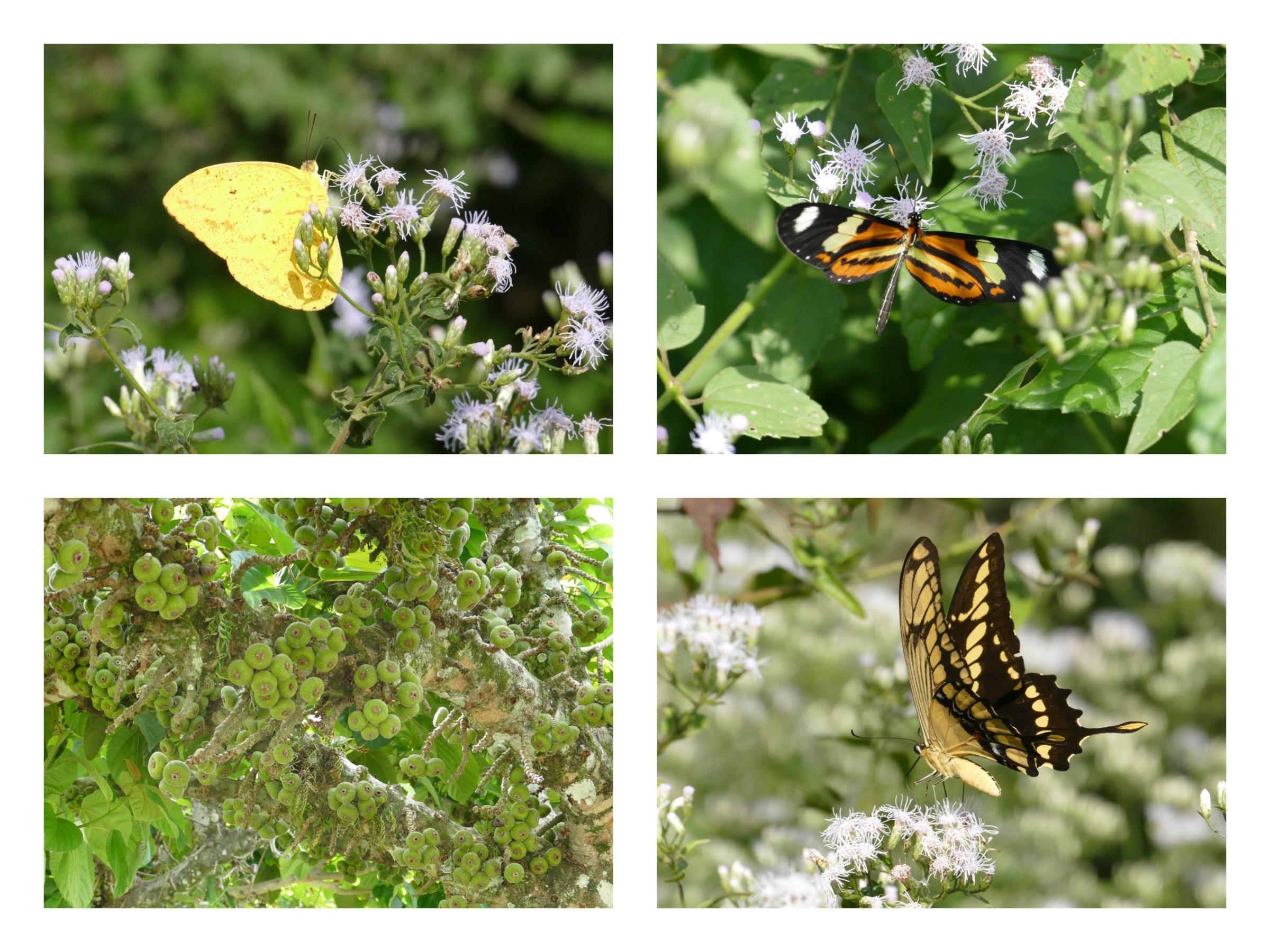 fjärilar iguazu