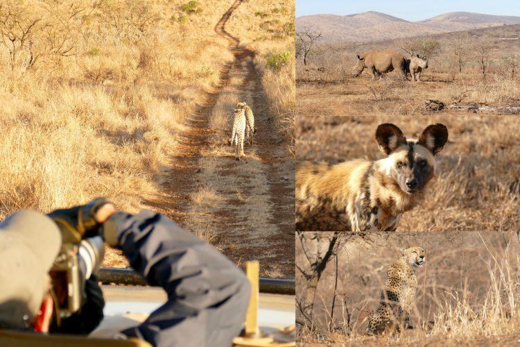 safari djur
