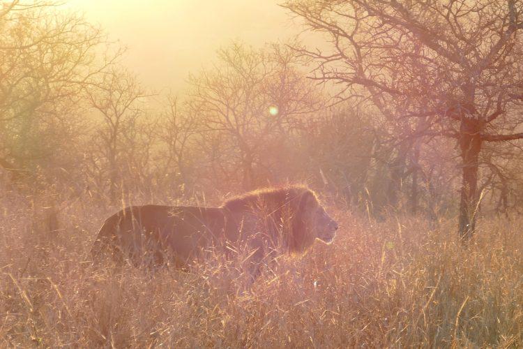lejon sydafrika bild