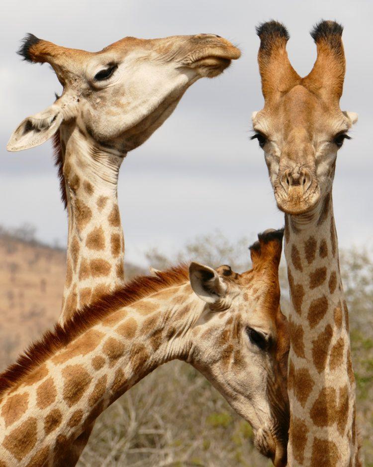 bästa safaribilden